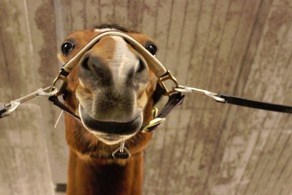häst eller lama